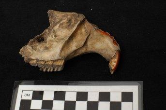 Beaver Skull Fragment